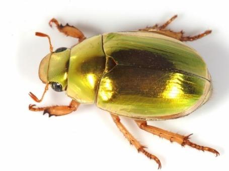 christmas-beetle-e1419377280412