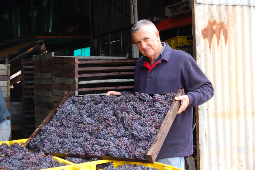 Brian Freeman empties dried Corvina grapes