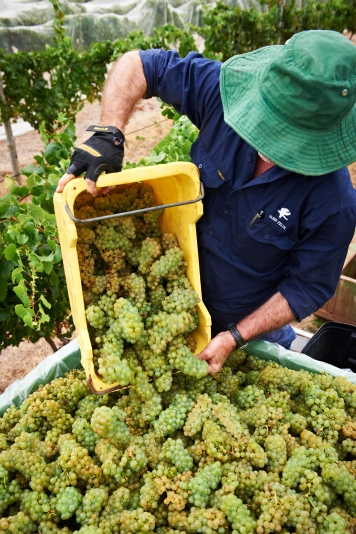Vasse Felix-Chardonnay-Harvest