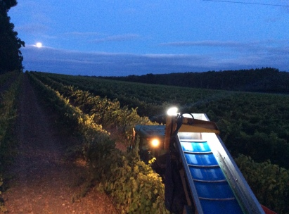 Grape harvesting at night at Howard Park Wines