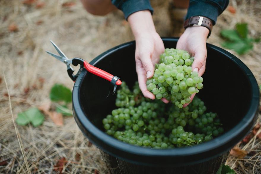 Stella Bella grapes