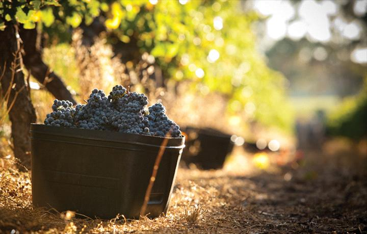 Cape Mentelle Red Grapes in bucket