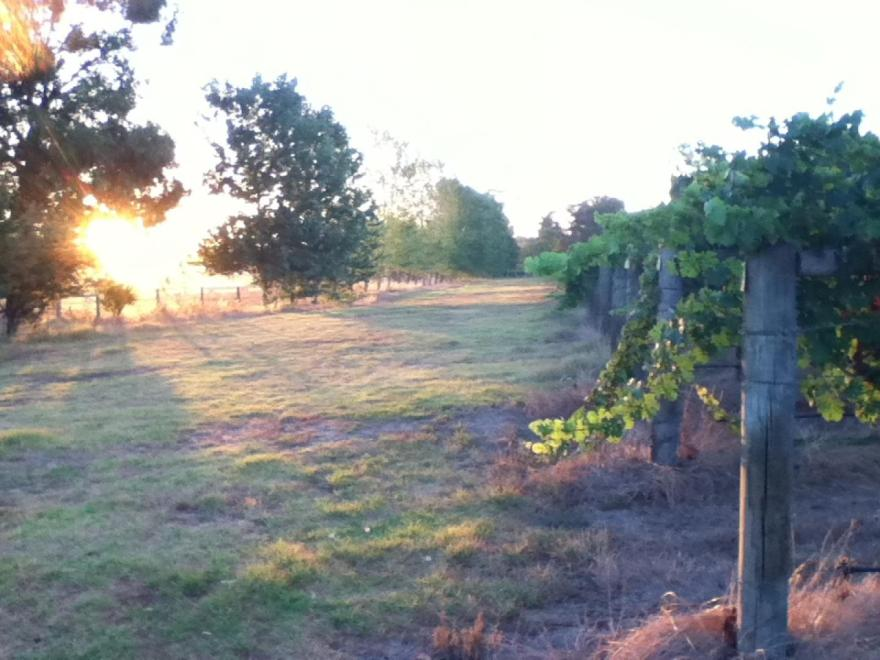 southern vines
