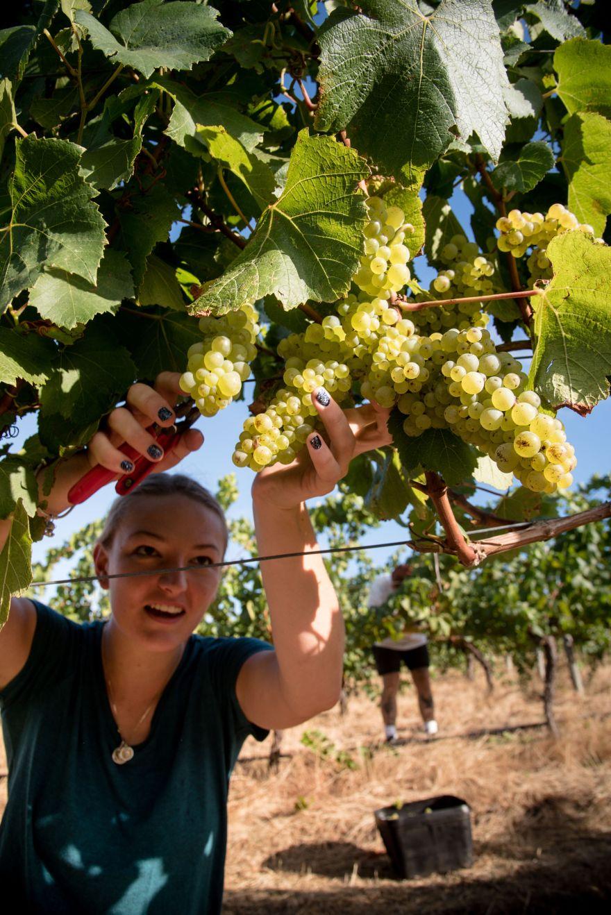 Aravina grape picking oZBRiSQg